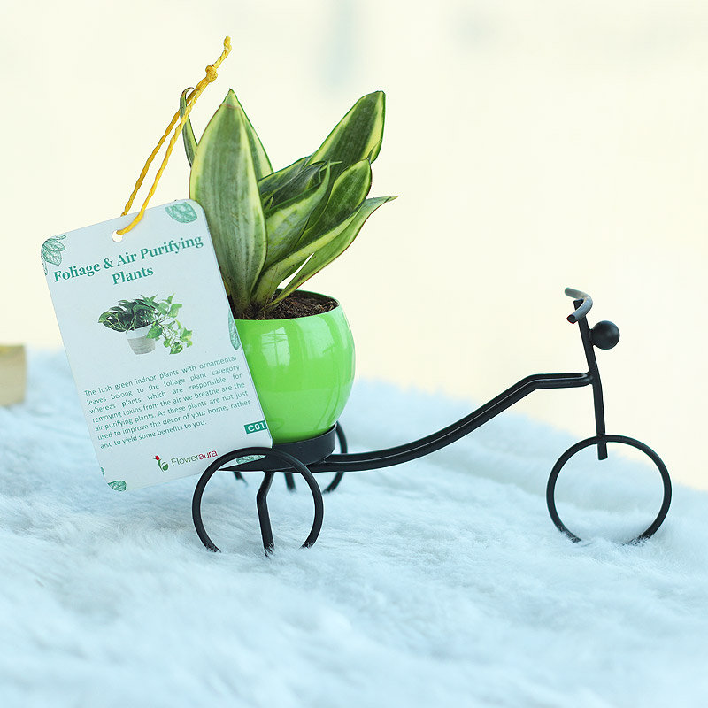 Cycle Vase Sansevieria Plant - Good Luck Plant Indoors in Bicycle Vase
