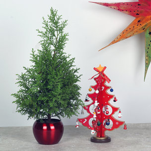 Xmas Gift Combo of Cyprus Plant and Decorative Pot