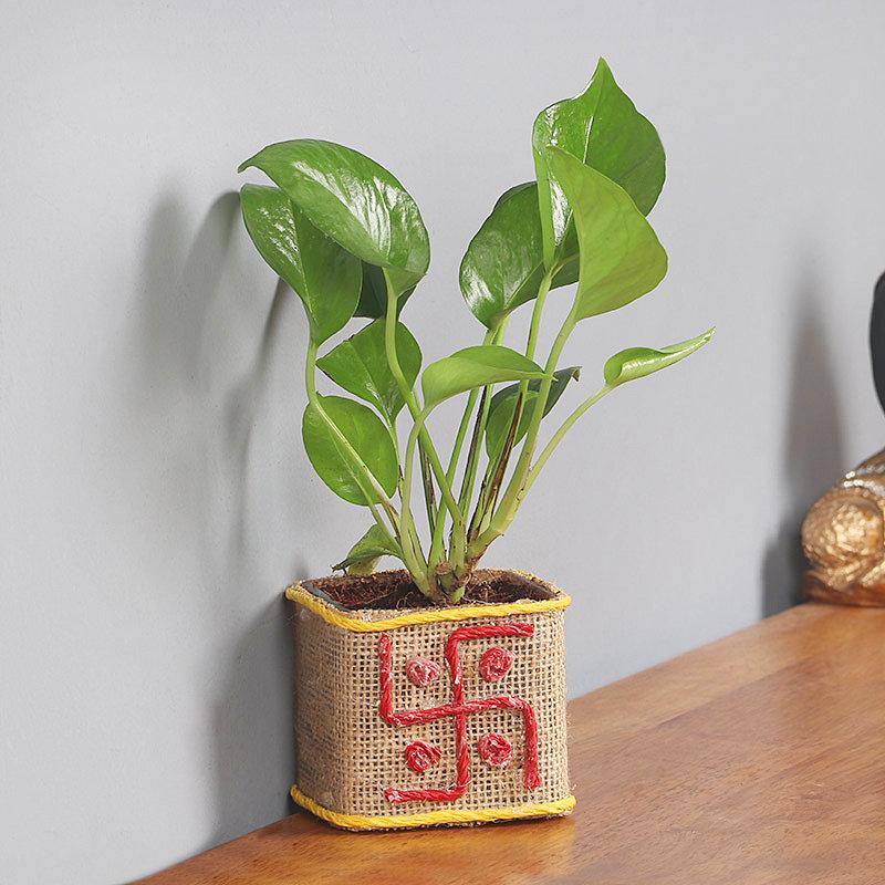 Delightful Money Plant
