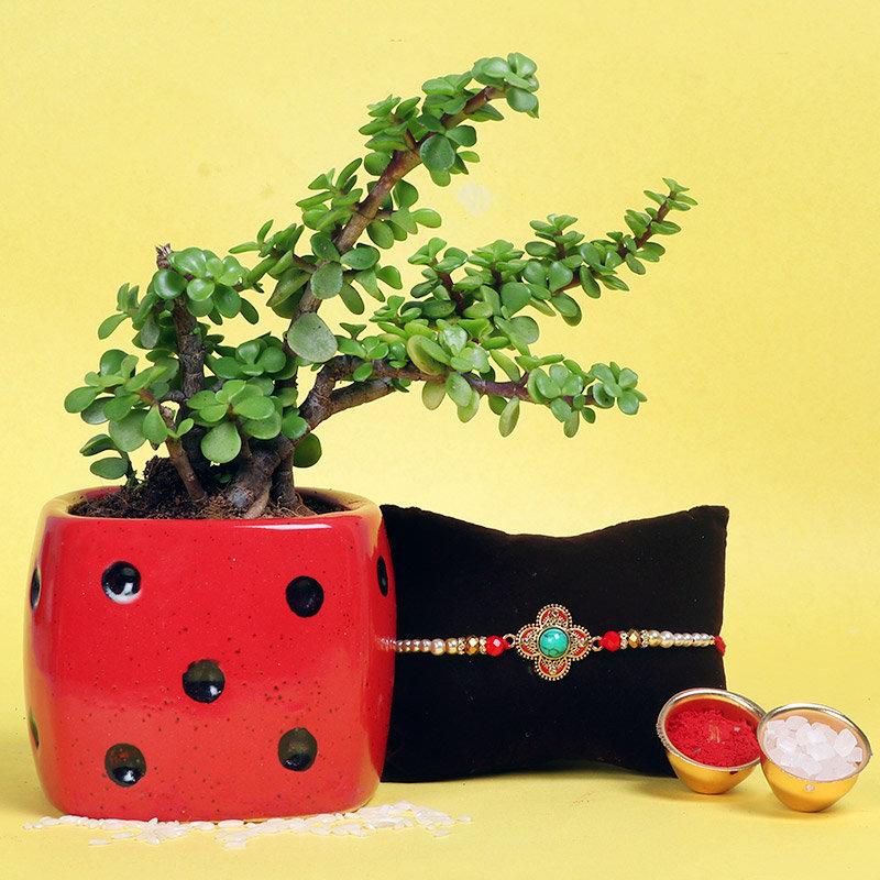 Designer Rakhi With Jade Plant - One Designer Rakhi with Succulent and Cactus Plant in Dice Vase