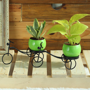 Double Air Purifiers - Good Luck Plant Indoors in Bicycle Vase
