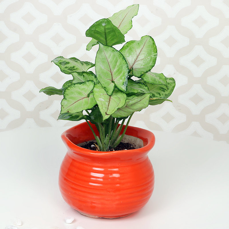 Online Plant - Double Syngonium Combo