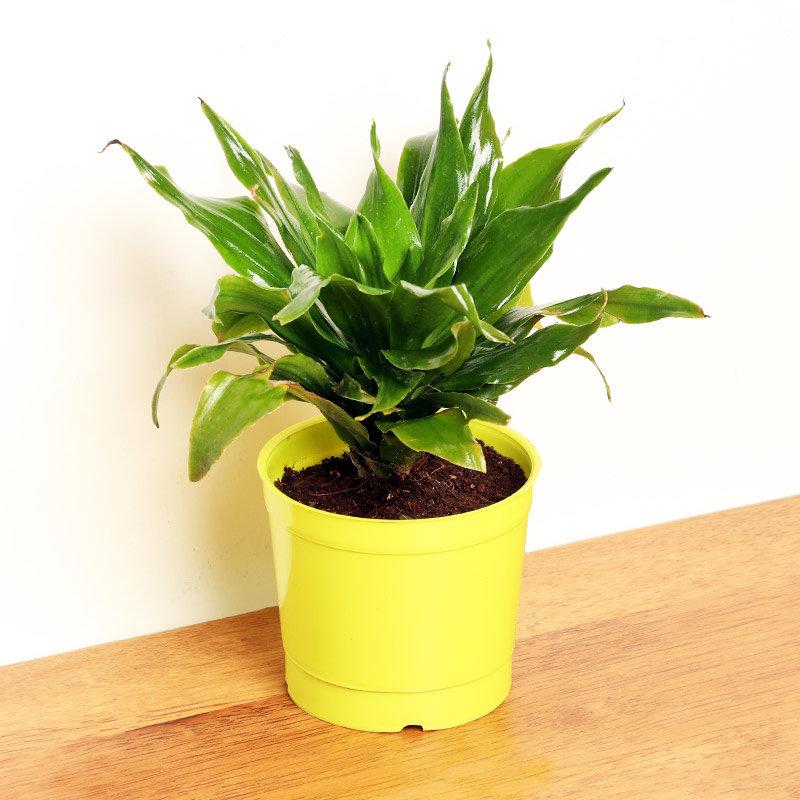 Dracena Compacta Plant in a Vase