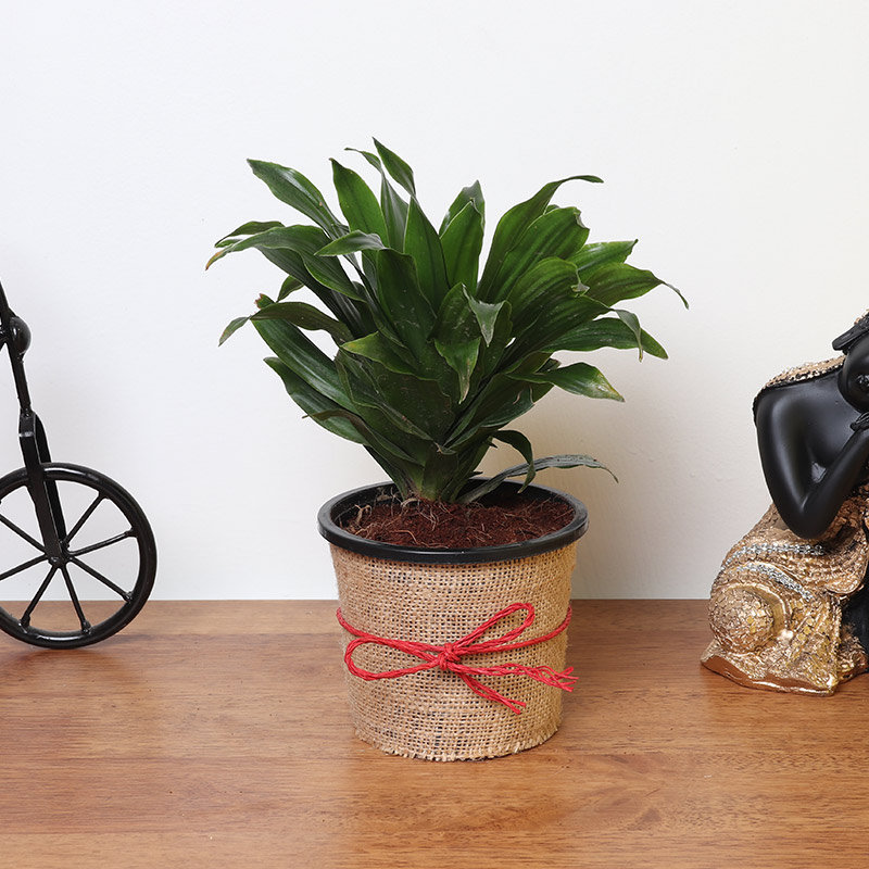 Dracaena Plant in Jute Packing