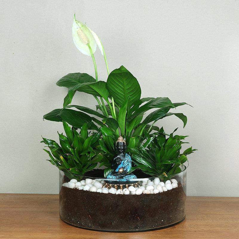 Dracena Compacta Plant And Peace Lily Combo