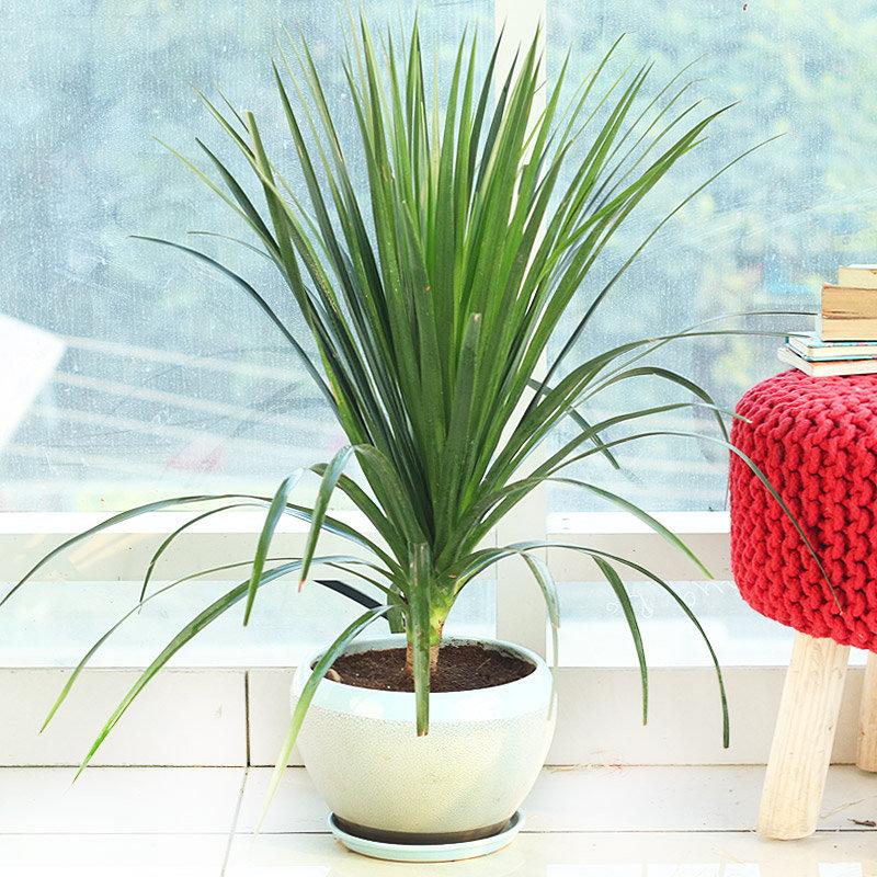 Dragon Plant - Foliage Plant Indoors in Snow Dew Large Vase