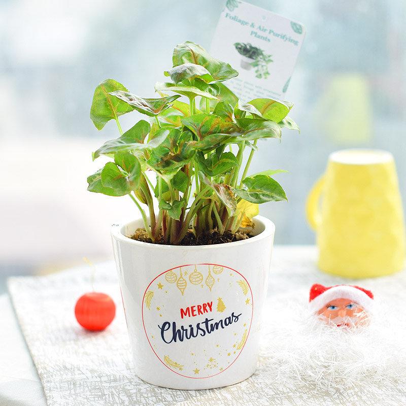 Elegant Evergreen Syngonium - Foliage Plant Indoors in Conical Printed Vase