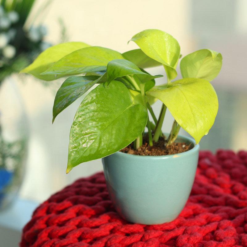 Elegant Golden Money Plant - Good Luck Plant Indoors in Micro Vase
