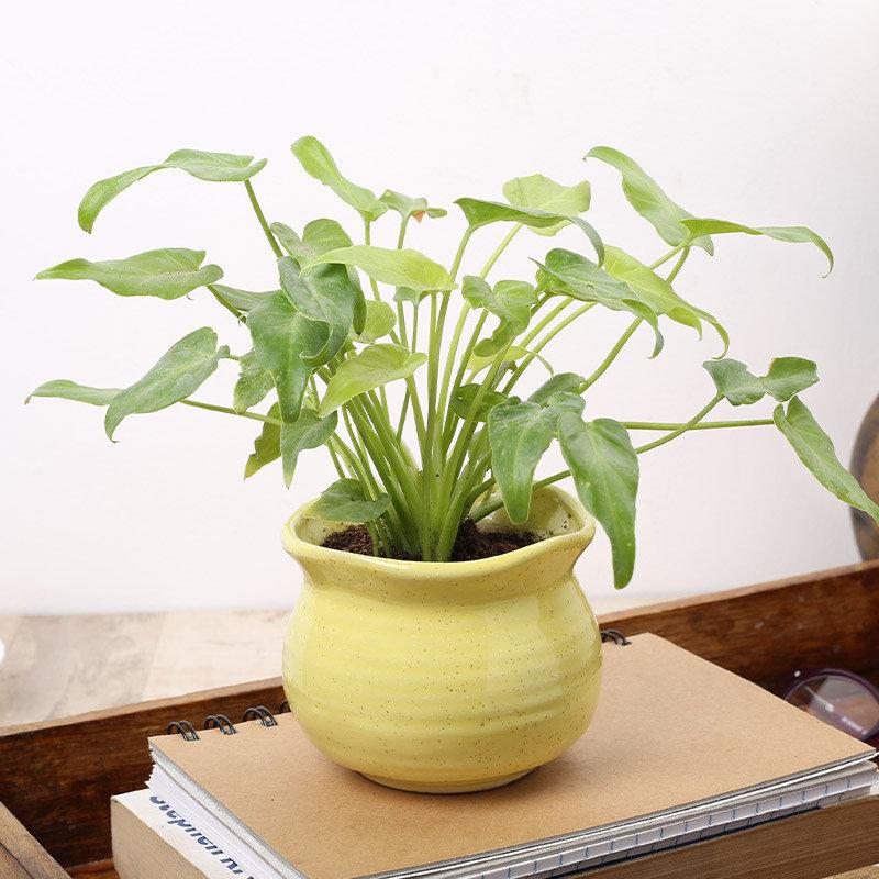Exquisite Green Xanadu Plant