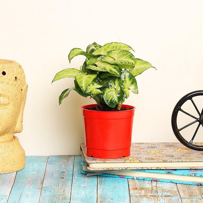 Fabulous Syngonium Plant in a Vase