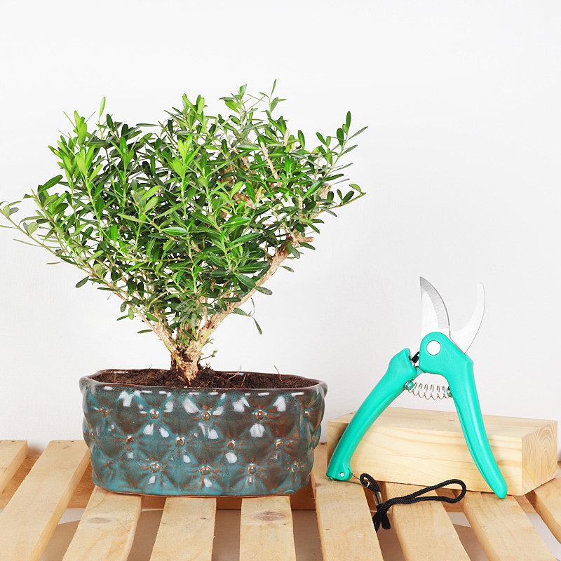 Farhers Day Buxsus Bonsai Plant