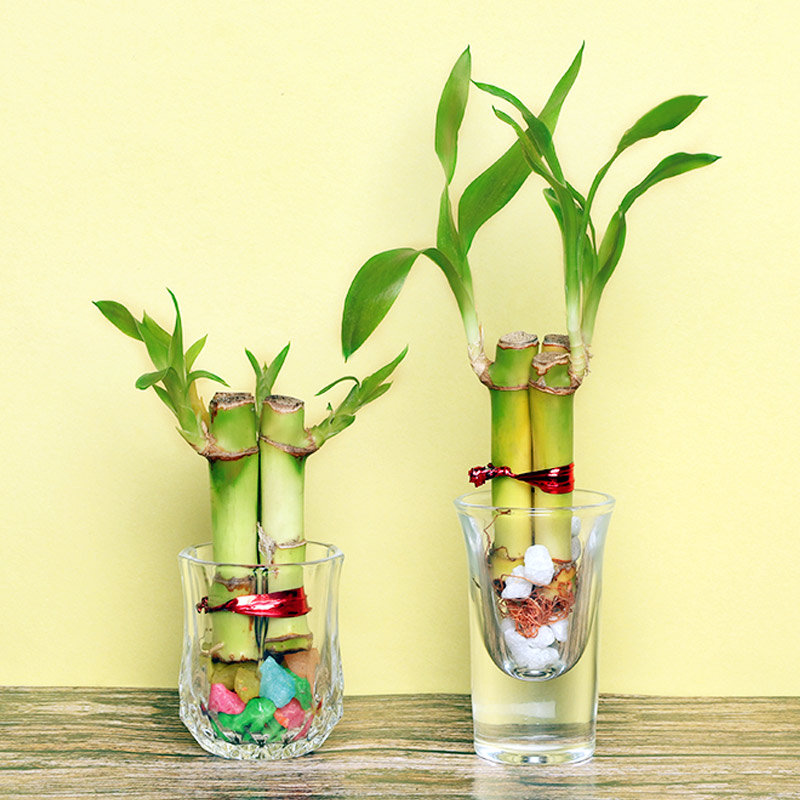 Feel Blessed Lucky Bamboo Plants in Shot Glasses