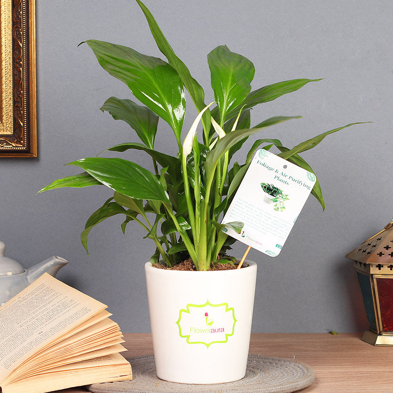 Ferns And Palms - Air Purifying Plant Indoor in Signature Conical Vase