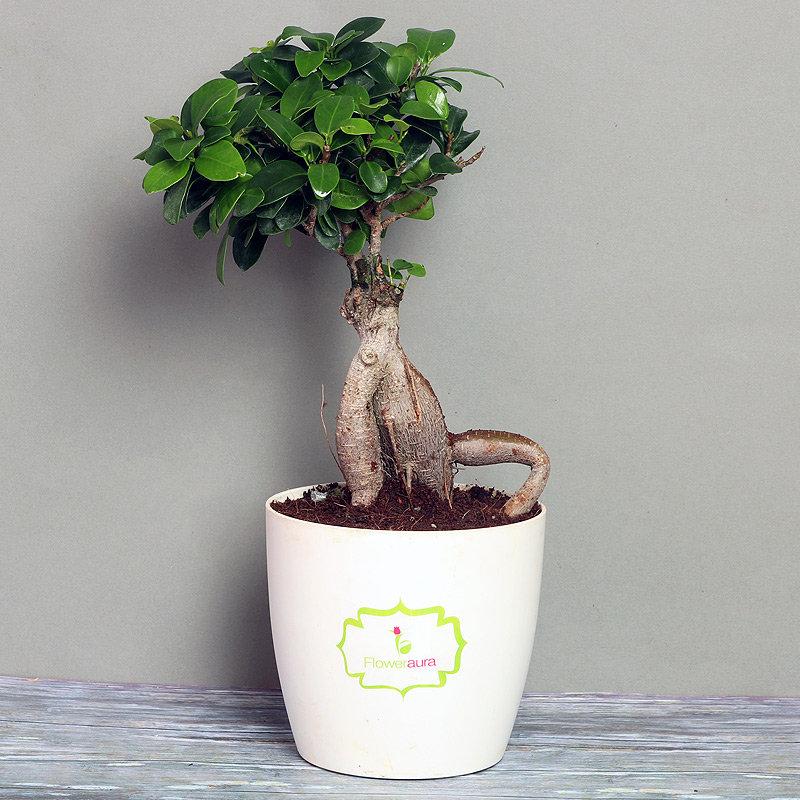 Ficus Bonsai Plant in Rhonda Vase