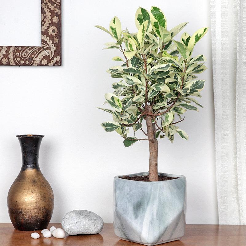 Ficus Bonsai Tree: Bonsai
