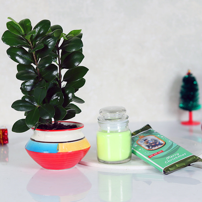 Ficus Compacta With Chocolates and candle - A Xmas Combo Gift