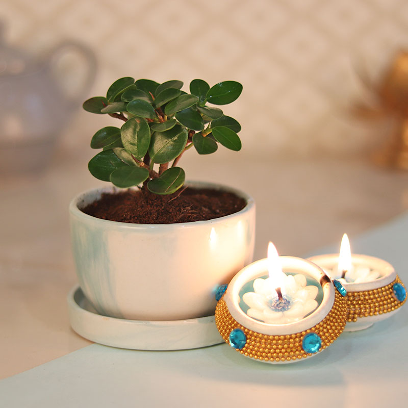 Diwali Gift Combo of Ficus Iceland Plant and Two Diyas