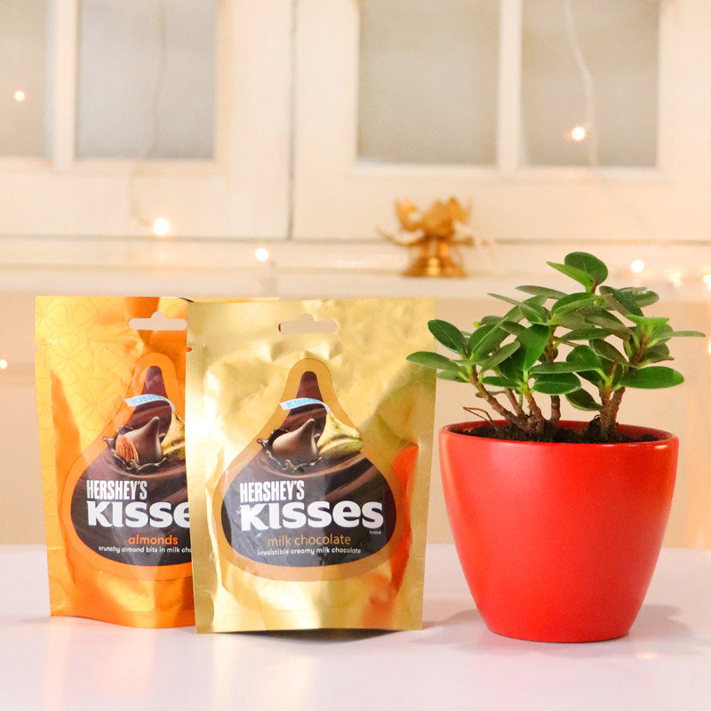 Ficus Iceland Plant With Hersheys Kisses Chocolate