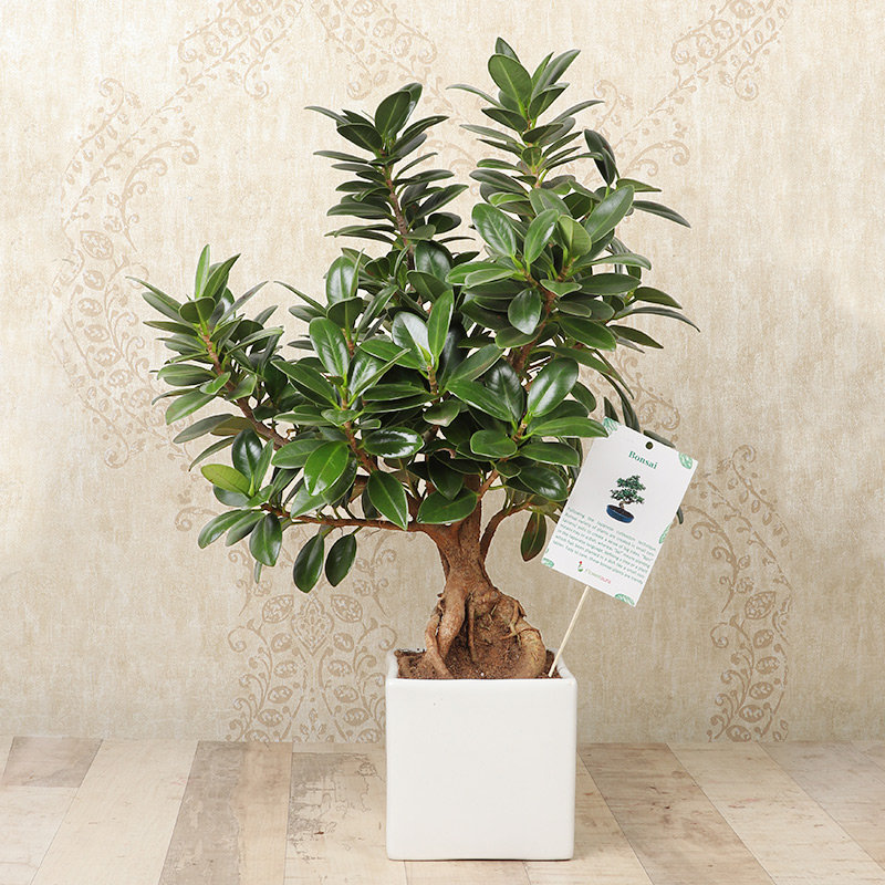 Ficus Longisland Bonsai Plant in a Vase