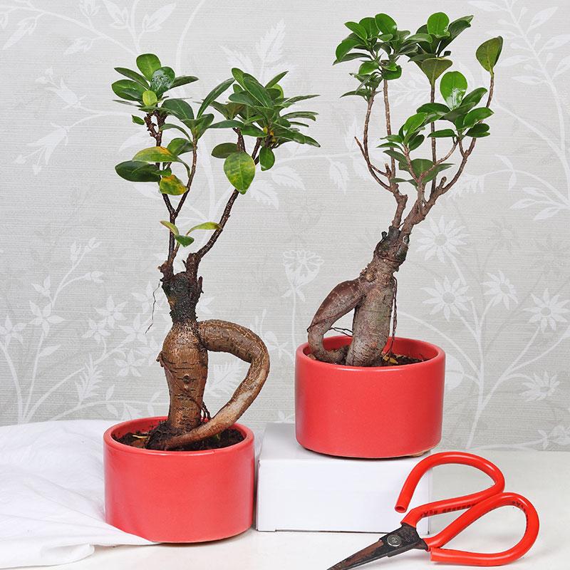 Ficus Microcarpa Set