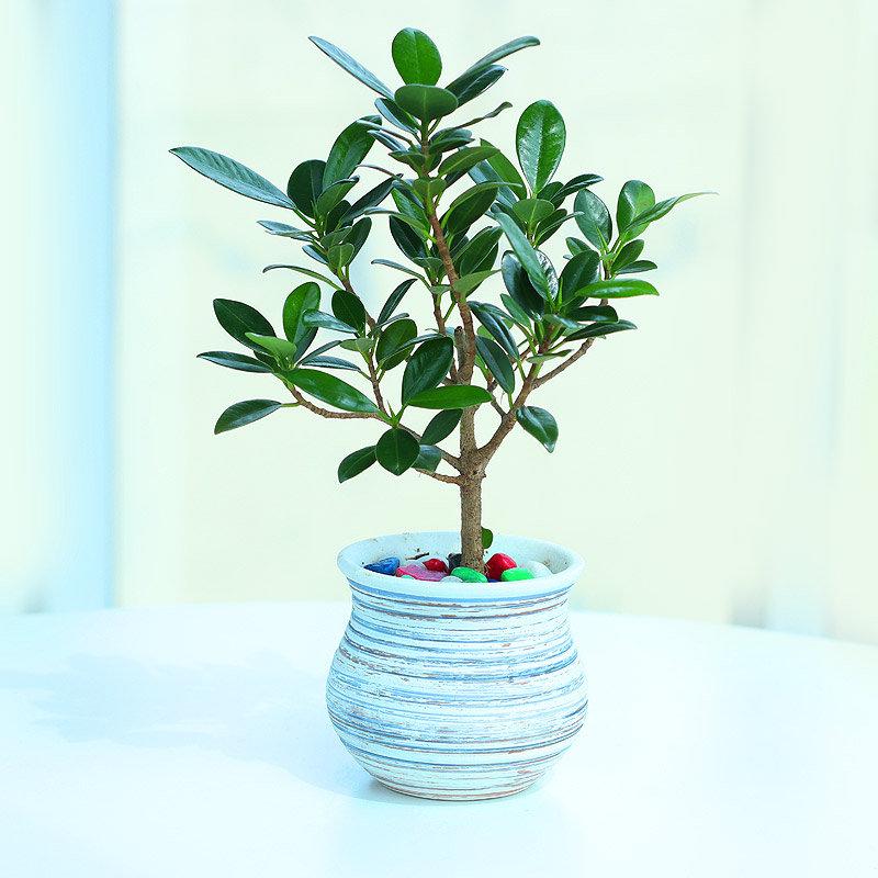 Ficusified Green Plant - Bonsai Plant Indoors in Designer Handi Vase