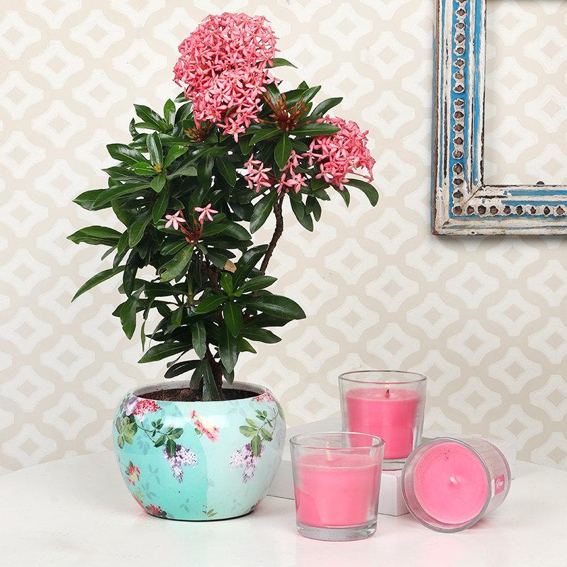 Flowering Ixora Plant