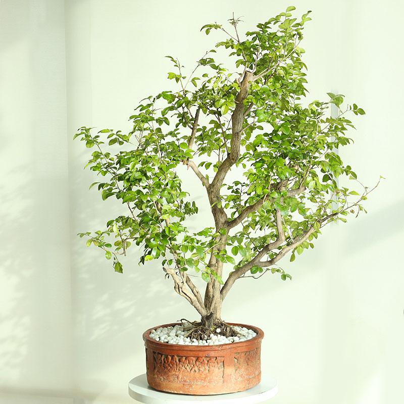 Flowery Murraya Bonsai Premium Plant
