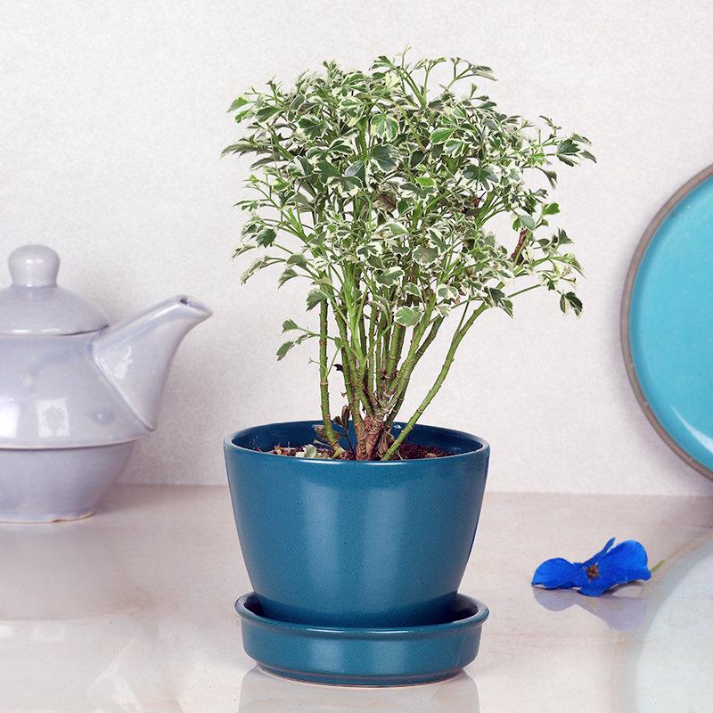 Foliage Aralia Plant