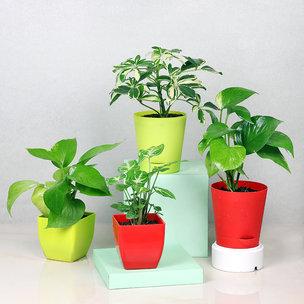 Foliage N Good Luck Plant Combo