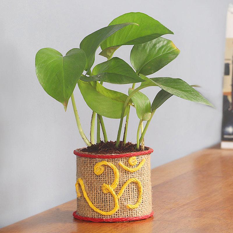 Fortunate Money Plant