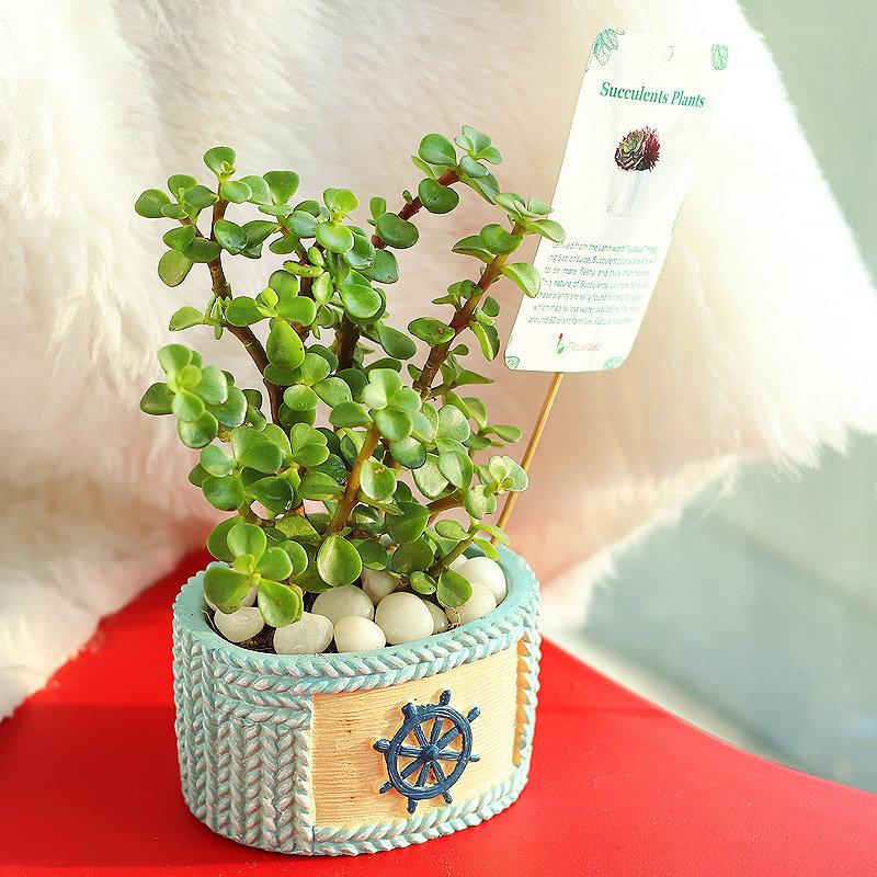 Fortuner Jade Plant Online - Succulent and Cactus Indoors Plant in Designer Sailor Vase - Succulent and Cactus Indoors Plant in Designer Sailor Vase