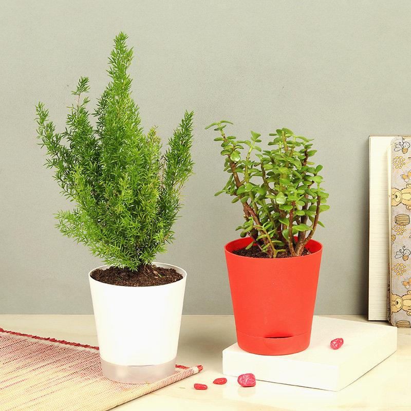 Foxtail Fern Jade Plant