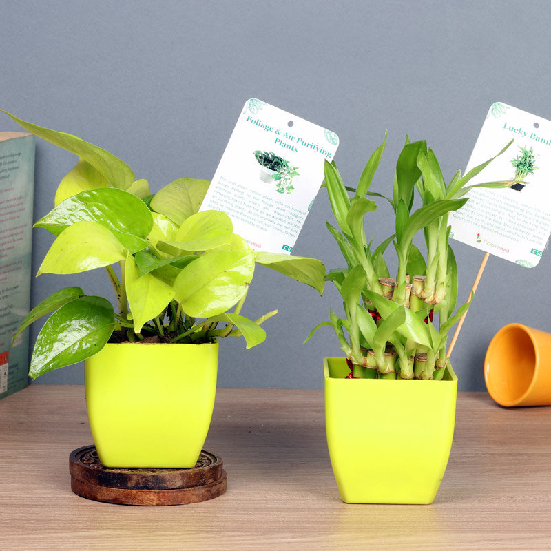 Fresh Lucky Bamboo Combo - Good Luck Plant Indoor in Blossom Vases