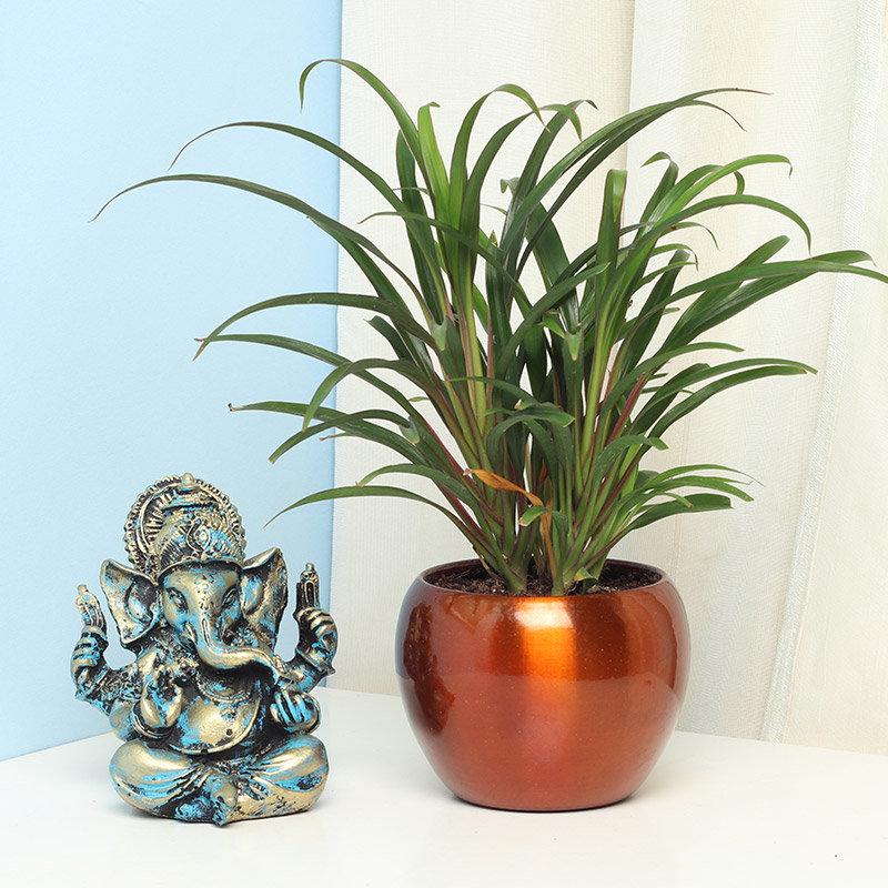 Ganesha Dracena Blessings
