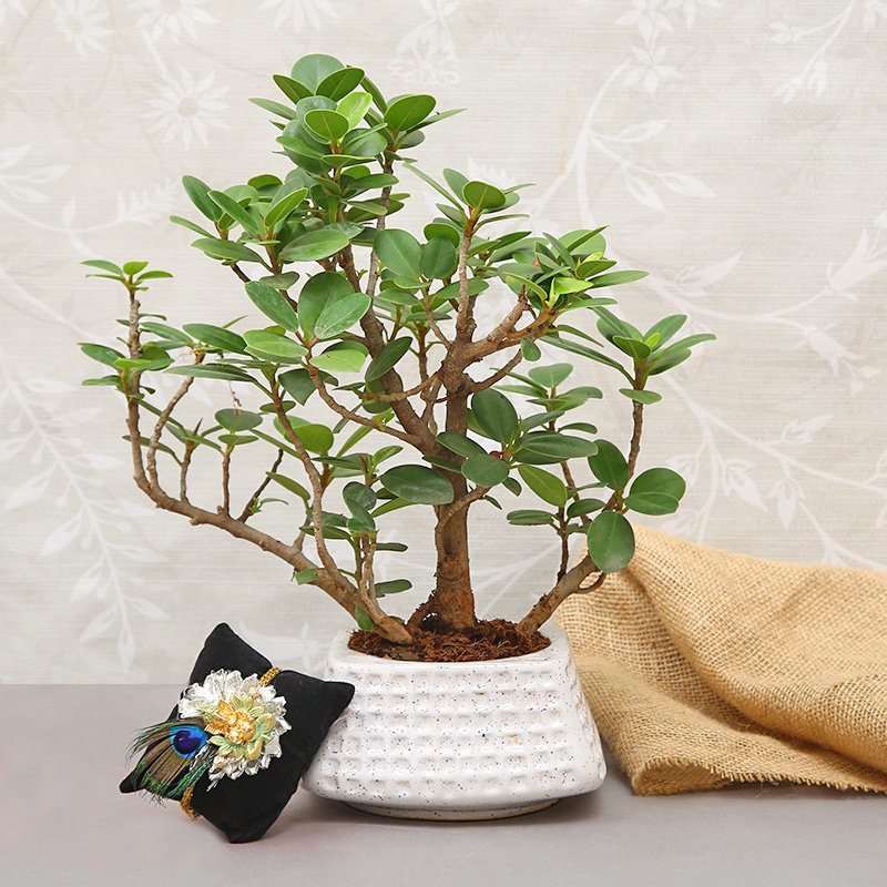 Ganesha Ficus Bonsai Rakhi Combo