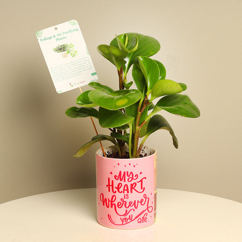 Gift Glossy Peperomia Plant For Him/Her