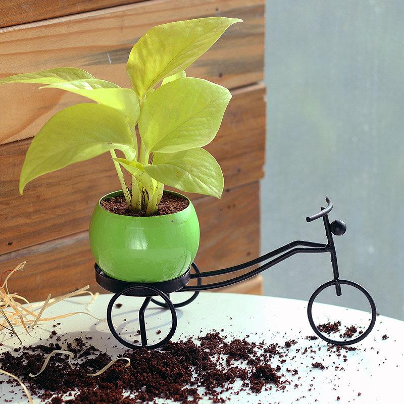 Golden Money Biker - Good Luck Plant Indoors in Bicycle Vase