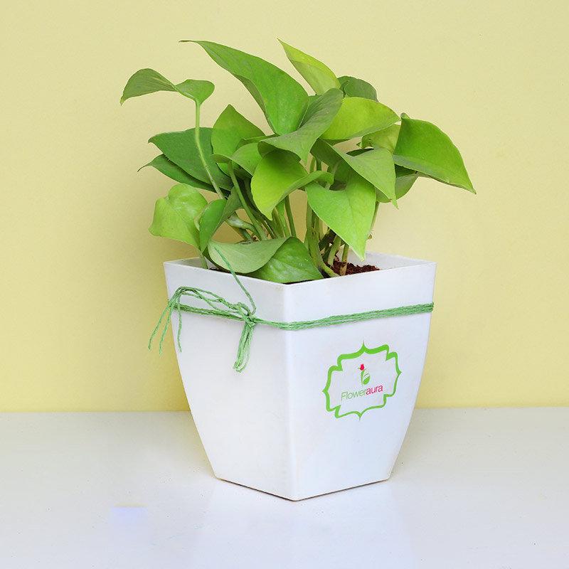 Golden Money Plant in White Vase