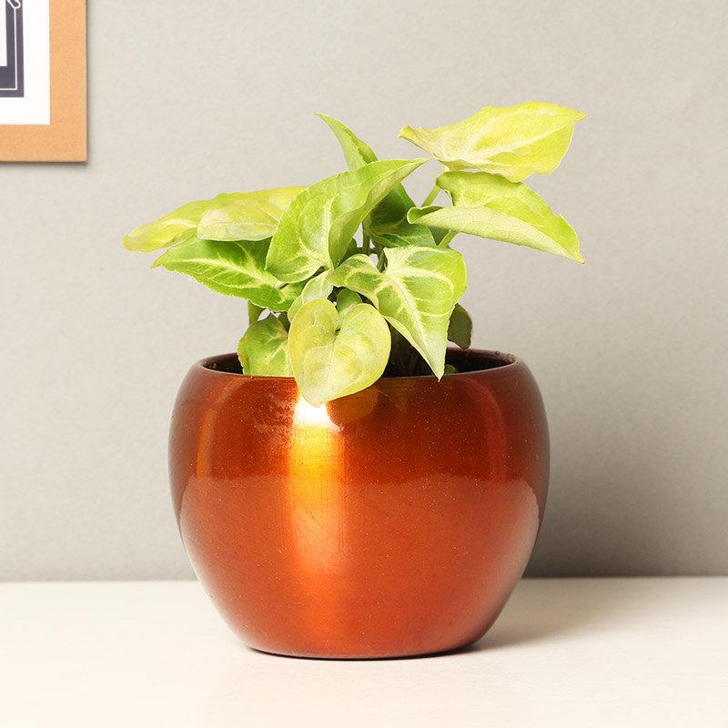 Golden Syngonium Plant in a Vase