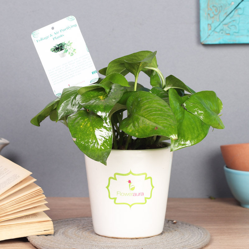 Good Luck Money Plant - Good Luck Plant Indoor in Signature Conical Vase