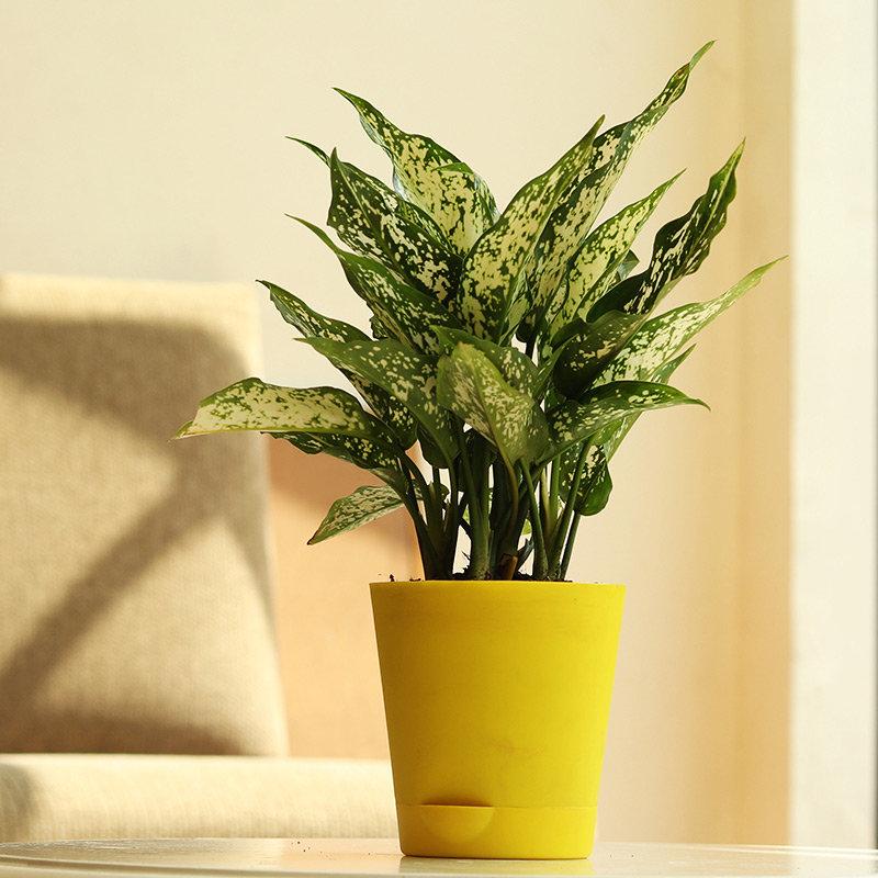 Gorgeous Aglaonema Silver Plant