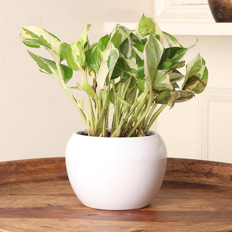 Gorgeous White Pothos Plant Plant for Corporate Gifting