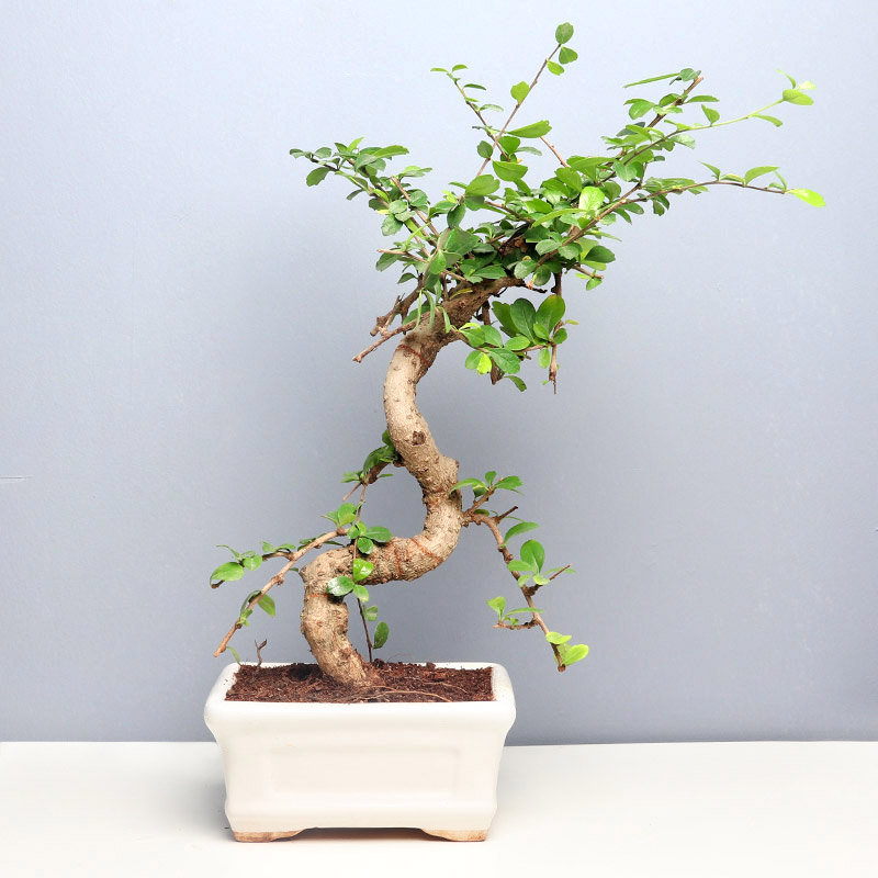 Graceful Carmona Plant