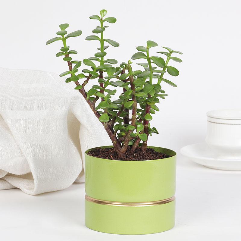 Green Jade Plant Vase
