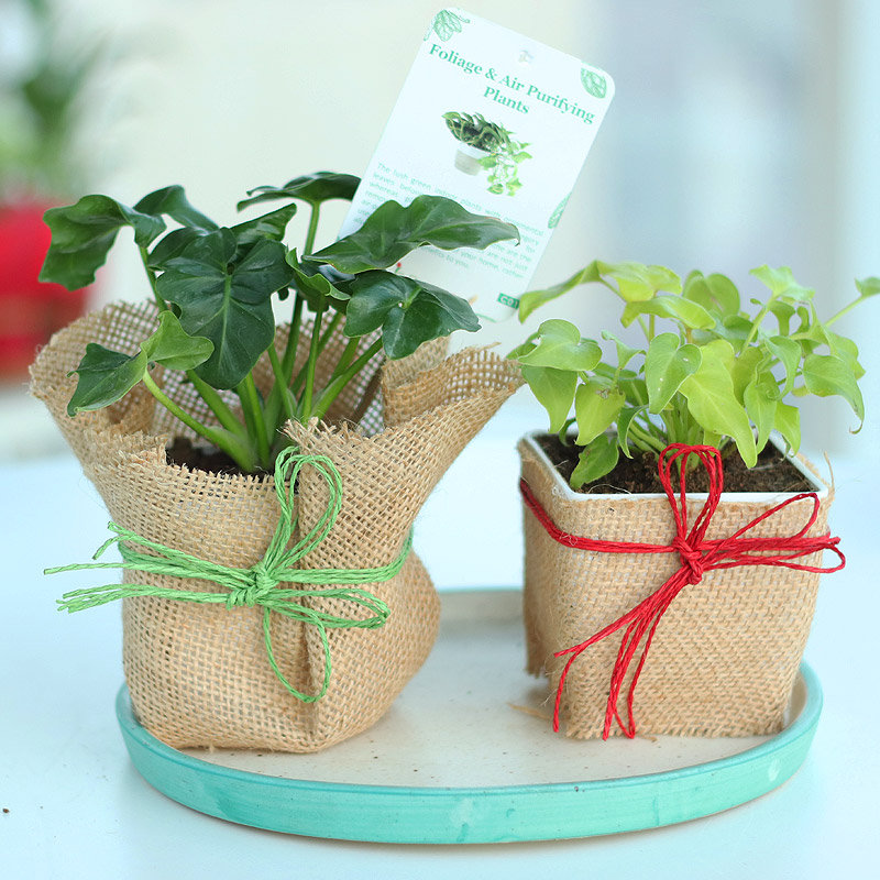 Philodendron and Xanadu Plant in Jute Wrapping