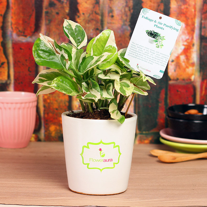 Green White Pothos Plant - Good Luck Plant Indoor in Signature Conical Vase