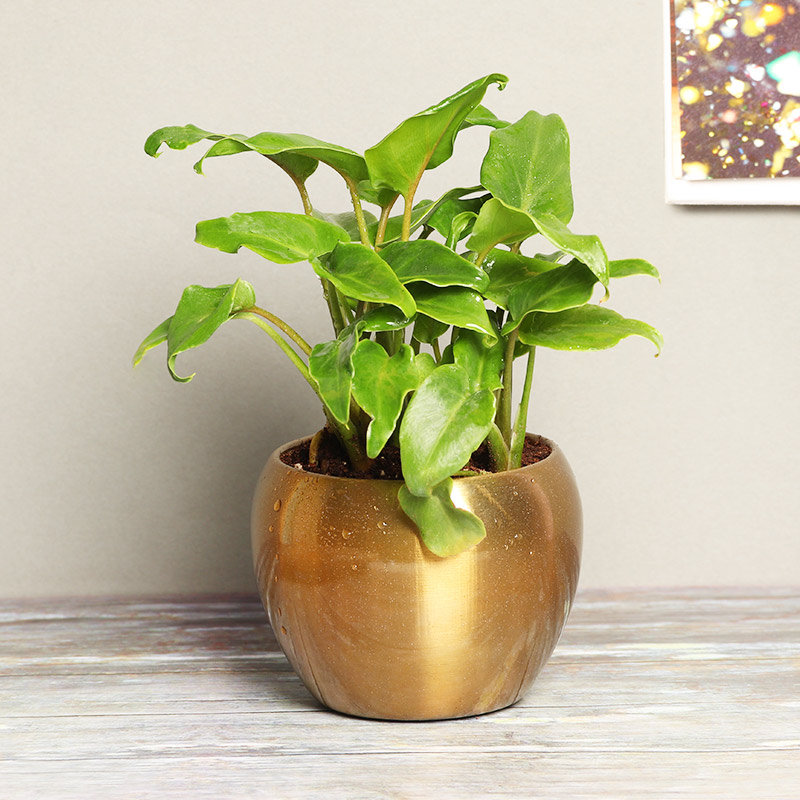 Green Xanadu in a Vase