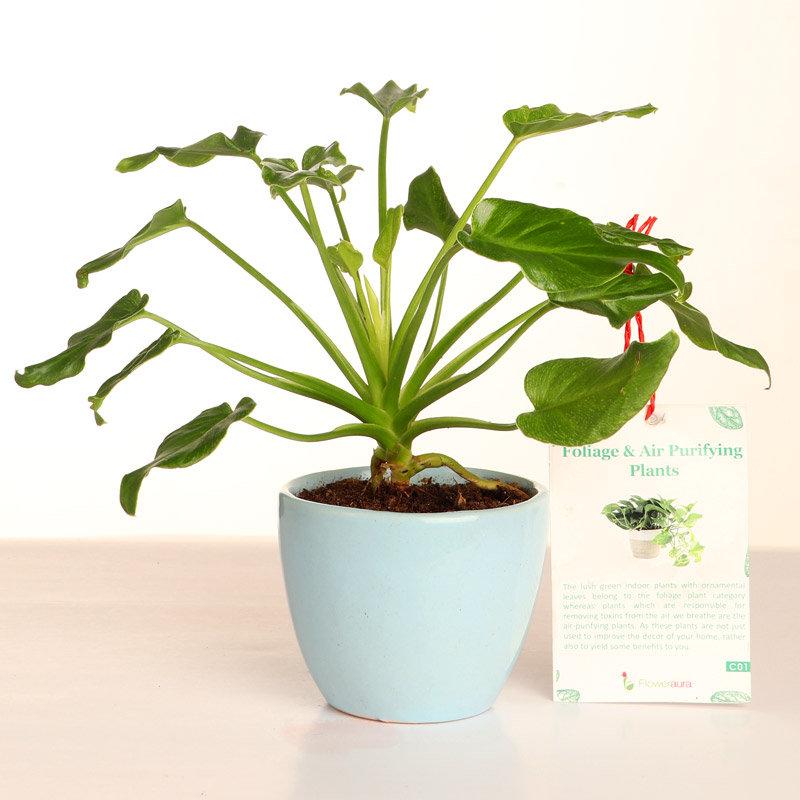 Green Xanadu Plant With Micro Vase