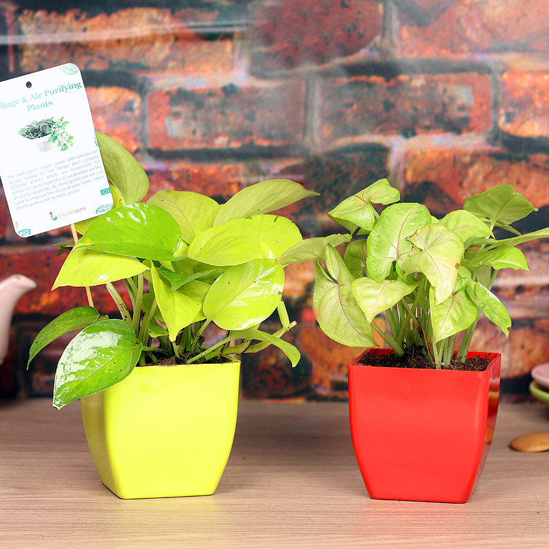 Greenish Indoor Combo - Good Luck or Foliage Plant Indoor in Blossom Vases
