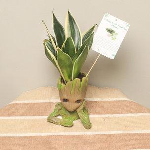 Groot Sansevieria Plant
